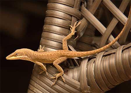 home lizards